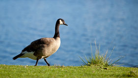A Canadian Goose walking along a lake shore Royalty Free Stock Image