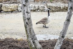 Canadian Goose walking down Gravel Road. A Canadian Goose walking down a gravel road framed by a white birch tree and stone wall Stock Photos