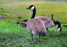 Canadian Goose walking Geese in grass Royalty Free Stock Photography