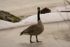 Canadian goose walking on ice. 1 Royalty Free Stock Image