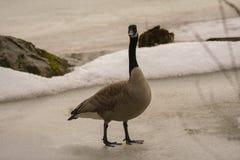 Canadian goose walking on ice. 1 Royalty Free Stock Image