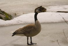 Canadian goose walking on ice, what going on?. 1 Stock Photos
