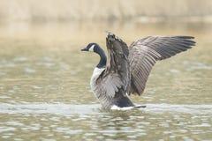 Canadian goose washing Royalty Free Stock Image