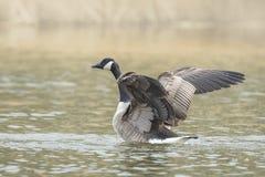 Canadian goose washing Stock Photography