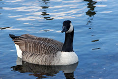 Canadian Goose in water Stock Image