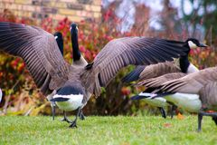 Canadian goose in West Bloomfield Michigan Royalty Free Stock Photos