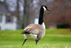 Canadian goose in West Bloomfield Michigan Stock Images