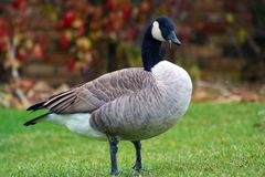 Canadian goose in West Bloomfield Michigan Stock Photo