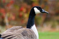 Canadian goose in West Bloomfield Michigan Royalty Free Stock Image
