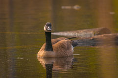 Canadian goose in the wetlands Stock Photos