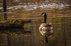 Canadian goose in the wetlands Stock Photo