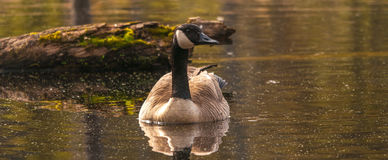 Canadian goose in the wetlands Royalty Free Stock Photography