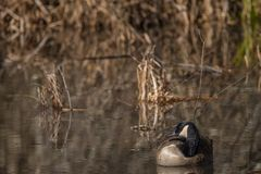 Canadian Goose in the wetlands royalty free stock image