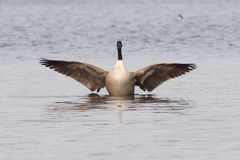 Canadian goose with widened wings. A Canadian goose in the water spreading the wings Stock Image