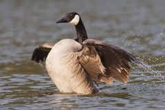 Canadian goose with widened wings. A Canadian goose in the water spreading the wings royalty free stock image