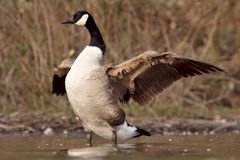 Canadian goose with widened wings. A Canadian goose spreading the wings near the shore Stock Image