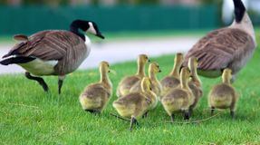 Free Canadian Goose With Chicks, Geese With Goslings Walking In Green Grass In Michigan During Spring. Royalty Free Stock Images - 115900309