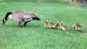Free Canadian Goose With Chicks, Geese With Goslings Walking In Green Grass In Michigan During Spring. Stock Photography - 115914202