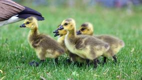Canadian Goose With Chicks, Geese With Goslings Walking In Green Grass In Michigan During Spring. Stock Image