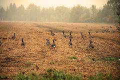 Free Canadian Goose With Morning Fog Royalty Free Stock Images - 78172859
