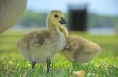 Canadian Gosling. A Canadian Gosling foraging in Grass Royalty Free Stock Photography