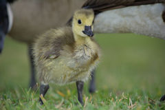 Canadian Gosling. A Canadian Gosling with a parent Royalty Free Stock Photo