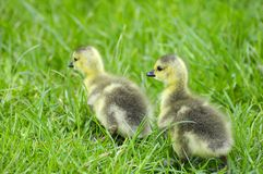 Canadian goslings Stock Photo