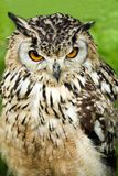 Canadian Great Horned Owl Stock Photo