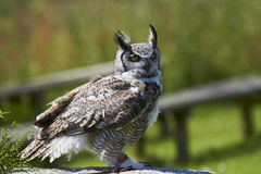 Canadian Great Horned Owl. A captive Canadian Great Horned Owl,at a flying display in England Stock Image