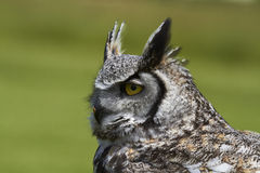 Canadian Great Horned Owl. A close-up of aCanadian Great Horned Owl's head in profile Royalty Free Stock Photo