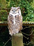 Canadian Great Horned Owl royalty free stock images