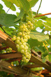 Canadian Green Grapes on Vine Stock Photography