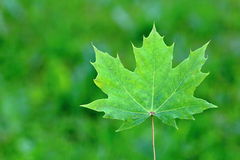 Canadian Green Maple Leaf Stock Photos
