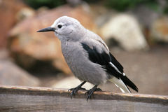 Canadian Grey Jay Stock Image