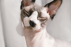 Canadian hairless sphinx cat sits in front of a window and basks in the sunshine. Eyes are closed of pleasure. Stock Photo