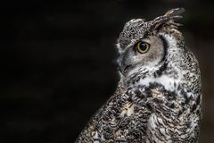 Canadian horned owl. A close up profile portrait of a Canadian great horned owl looking over to a black background on the left stock photography