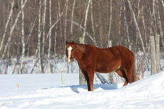 Canadian horse in snowy field Stock Images
