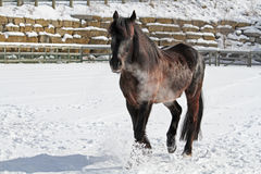 Canadian horse in snowy field Royalty Free Stock Photos
