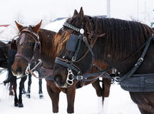 Canadian horses Stock Photos