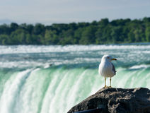 Canadian Horseshoe Falls at Niagara. Seagull overlooks Canadian or Horseshoe waterfall from Canadian side of Niagara Falls Royalty Free Stock Photo