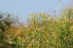 Canadian Horseweed Royalty Free Stock Images
