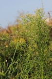 Canadian Horseweed Royalty Free Stock Photography