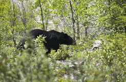 Canadian landscape with black bear in Alberta. Canada Royalty Free Stock Photography