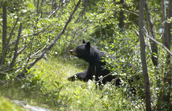 Canadian landscape with black bear in Alberta. Canada Stock Photos