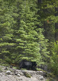 Canadian landscape with black bear in Alberta. Canada Royalty Free Stock Photo