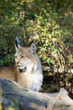 Canadian Lynx. A Canadian Lynx in the forest Royalty Free Stock Images