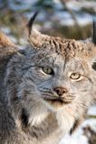 Canadian lynx. 9-month kitten of Canadian lynx Royalty Free Stock Images