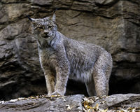 Canadian Lynx. A portrait of a Canadian lynx standing on a rock Royalty Free Stock Images
