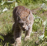 Canadian Lynx Stock Images