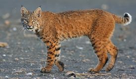 Canadian Lynx. Looking for a meal stock photography